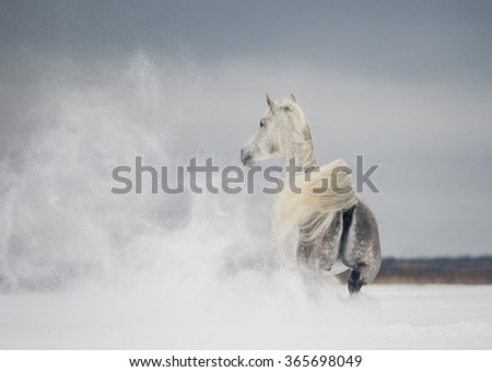 free arabian horse runs free with snow blowing by the wind - stock photo