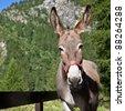 Free donkey on Italian Alps, looking to the camera - stock photo