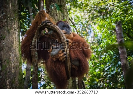 Free-living orang utan's spotted while trekking the jungle in Sumatra, Indonesia - stock photo