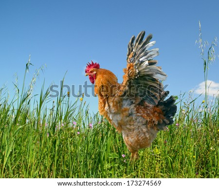 free range big cock - open wings  - green meadow in the spring and blue sky - stock photo