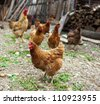 Free range chicken walking in the yard in countryside - stock photo