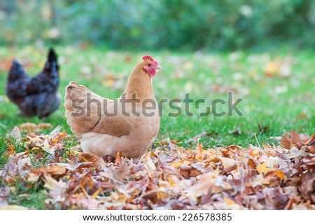 Free range chicken with colorful fall leaves - stock photo