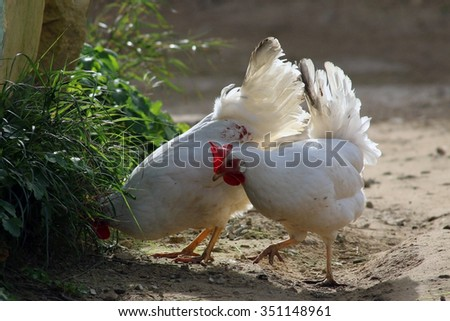 Free range chickens - stock photo