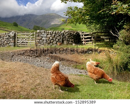 Free range chickens at Dale Head near Wast Water, the Lake District, Cumbria, England - stock photo