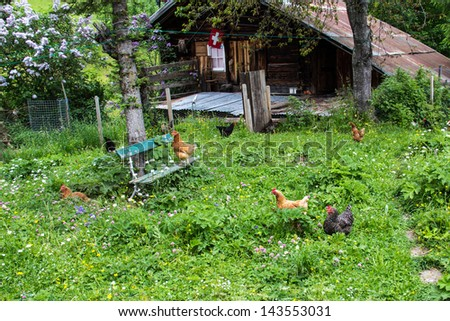 free range chickens in Switzerland