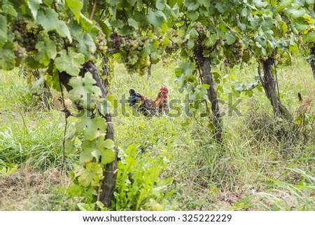 Free Range Chickens Roaming in an Organic Vineyard - stock photo