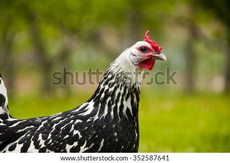 Free range hen in grass - stock photo