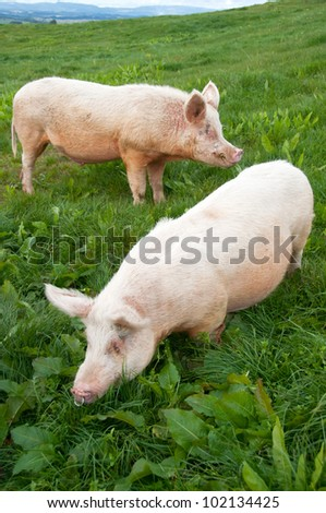 free range large white pigs boar and sow grazing in paddock - stock photo