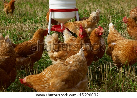 Free range organic chickens poultry in a country farm - stock photo