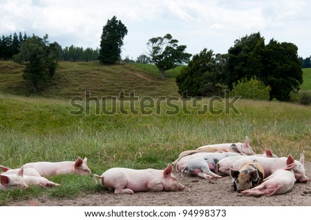 Free range piglets resting in the paddock - stock photo