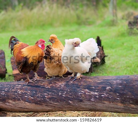 Free range poultry live fowls roost on a log - stock photo