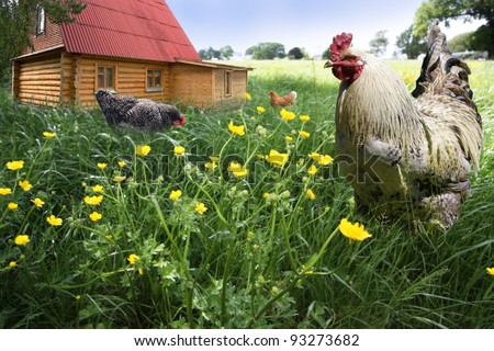 Free Range Rooster and hens