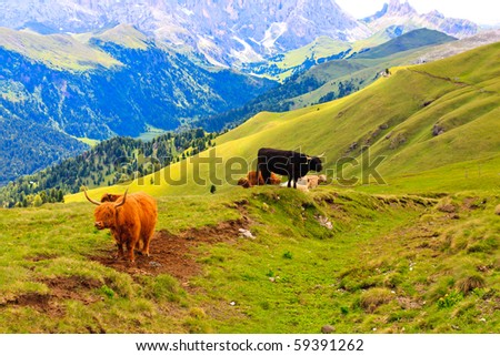 Free roaming highland cows pasture in Dolomites. - stock photo