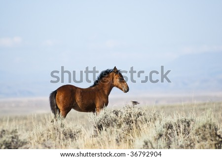 free roaming mustangs on the McCullough Peak Wild Horse Management Area in Wyoming