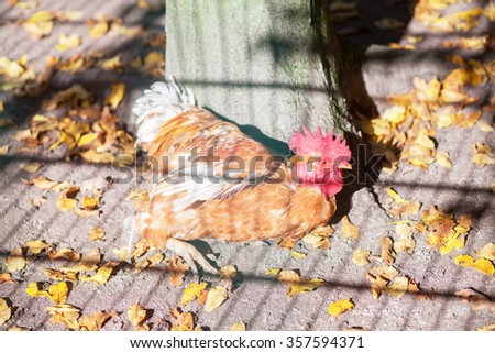 Free running chicken in petting zoo. Soft sunshine and some natural shadow. Selective focus.