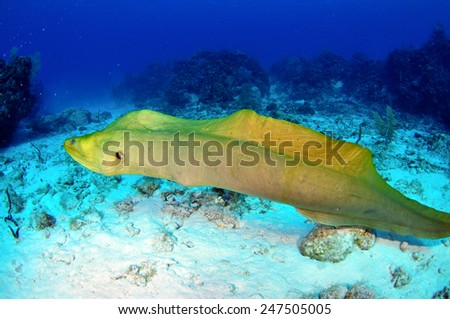 Free swimming Green Moray Eel, Grand Cayman - stock photo