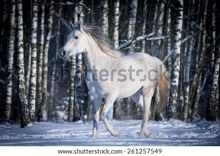 free white horse on winter background - stock photo