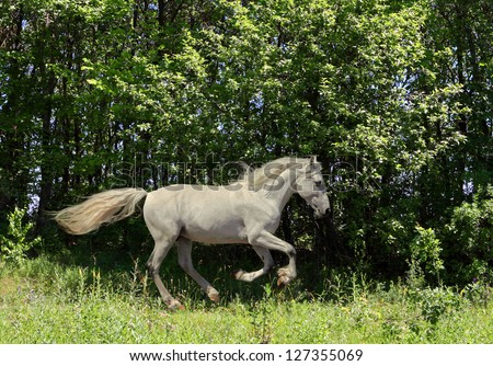 Free white stallion happily galloping in oak woods