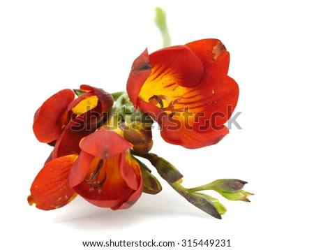 Freesia flower on a white background    - stock photo