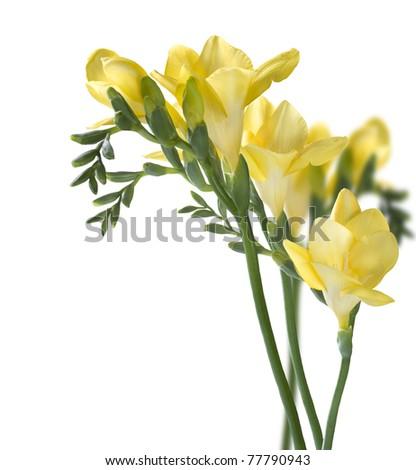Freesia Flowers - stock photo