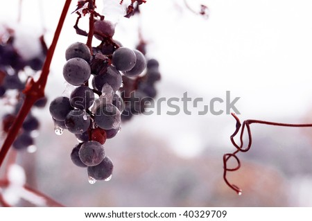 Freez bunch of grapes at winter, DOF is shalow - stock photo