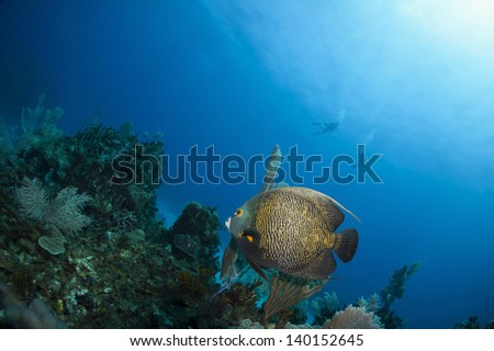 French angel fish swimming above the coral reef with diver silhouettes in the background - Riviera Maya, Mexico