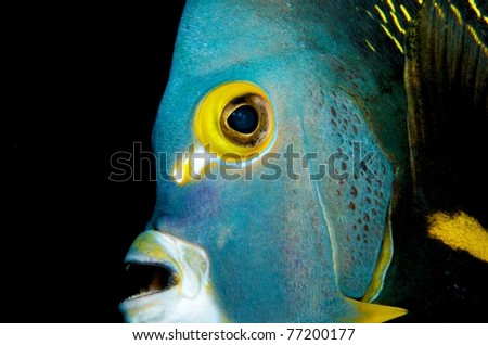 French Angelfish Close up