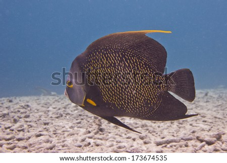 French Angelfish, Dutch Caribbean, Bonaire - stock photo