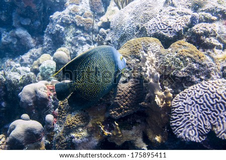 French Angelfish in a reef, Dutch Caribbean, Bonaire - stock photo