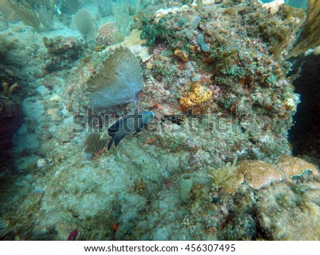 French angelfish off the coast of Pompano Beach, Fort Lauderdale, Florida, in shallow water