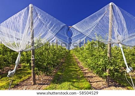 French Apple yards - stock photo