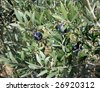 French Black Olive trees with ripening fruit in California - stock photo