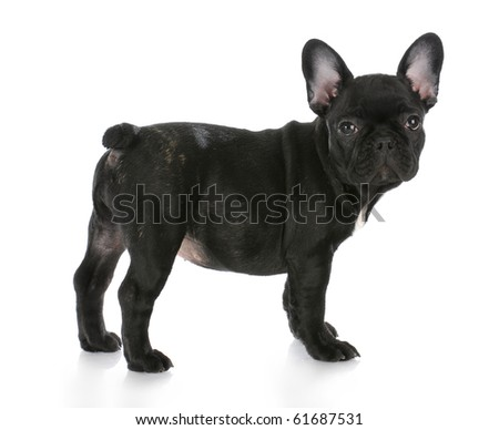 french brindle bulldog standing looking at viewer with reflection on white background