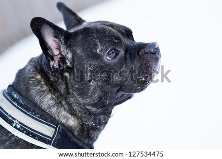French buldog dog puppet listening carefully any noise - stock photo