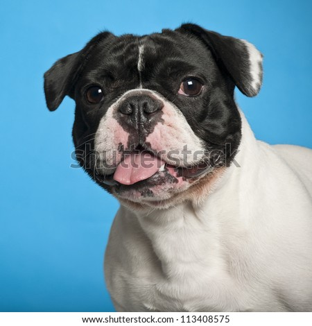 French Bulldog against blue background