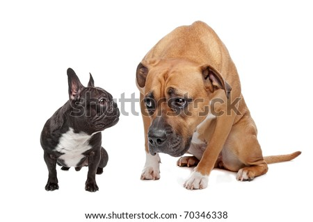 French Bulldog and a Staffordshire on a white background