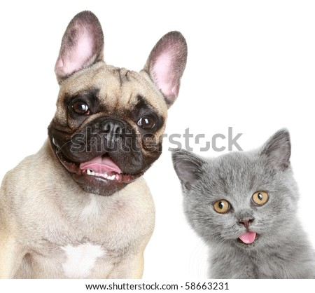 French bulldog and grey kitten on a white background - stock photo