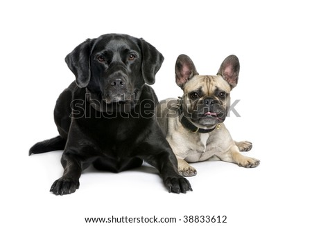 French Bulldog and Labrador sitting in front of white background, studio shot