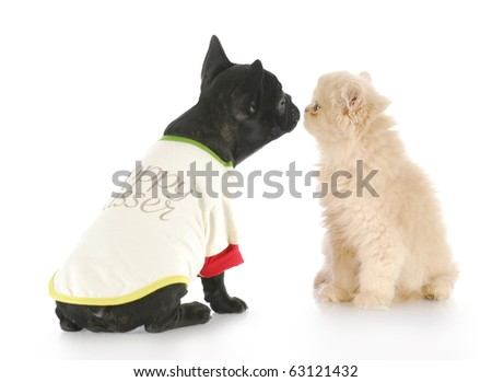 french bulldog and persian kitten greeting each other with reflection on white background - stock photo