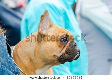 French bulldog beige on hands
