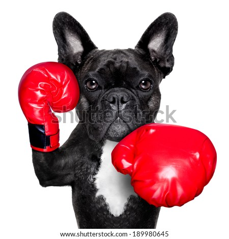 french bulldog boxing dog with big red gloves - stock photo