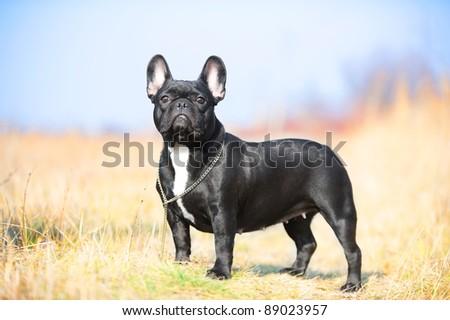 French Bulldog dog - stock photo