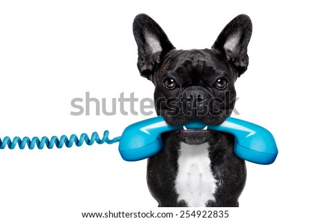 french bulldog dog holding a old retro telephone , isolated on white background