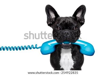 french bulldog dog holding a old retro telephone , isolated on white background - stock photo