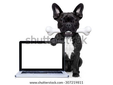 french bulldog dog  hungry with a big bone in mouth, behind a blank pc computer laptop screen or display , isolated on white background - stock photo