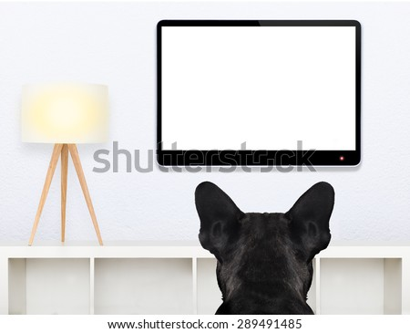 french bulldog dog in front of a blank and empty tv television or pc computer screen, and watching , in his living room - stock photo