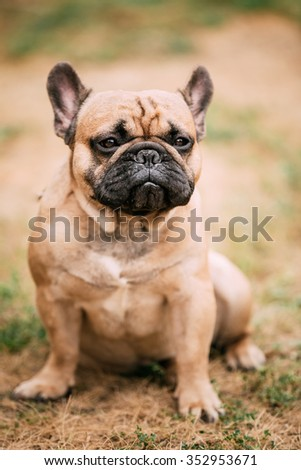 French Bulldog Dog In Park Outdoor - stock photo