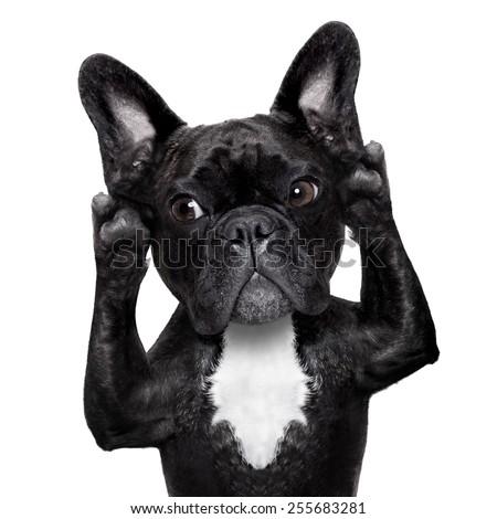 french bulldog dog listening carefully what you have to say, isolated on white background - stock photo