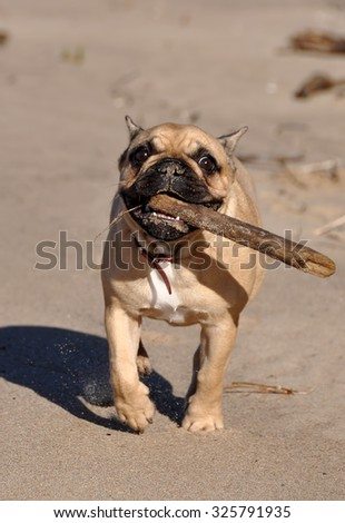 French Bulldog dog on the sea  is playing with a stick - stock photo