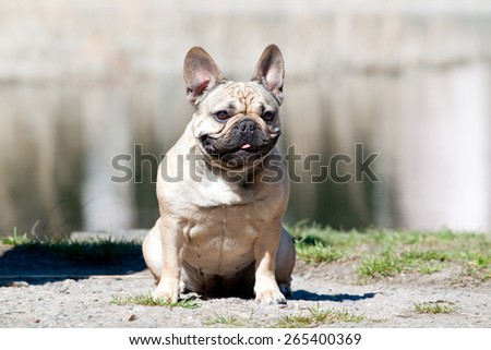 French bulldog dog portrait - stock photo